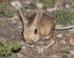 Orders of the Jerboa