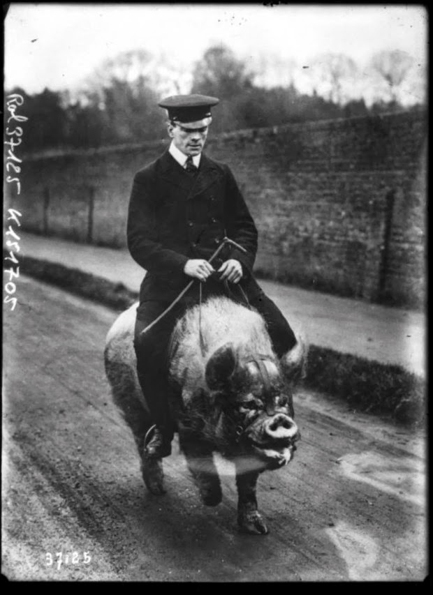 Pig with Adult Rider