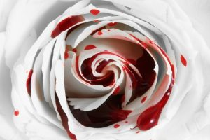 Blood on a rose